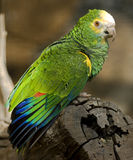 Festive amazon parrot 1 Royalty Free Stock Photos