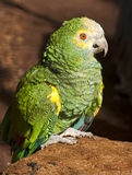 Festive amazon parrot 2 Stock Photography