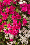 Festive Azaleas. A 2-for-1 punch of color with these red and white Azaleas, courtesy of another Glen Dale Hybrid Royalty Free Stock Photos