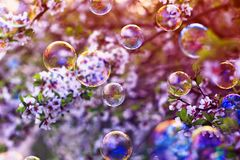 Festive background with flying bubbles shimmering in the sun in the spring Sunny garden above the cherry blossom branch. Festive beautiful background with flying stock photos