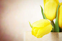 Festive background with vibrant yellow tulip flowers Royalty Free Stock Photography