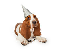 Festive Basset Hound Dog Wearing Party Hat Royalty Free Stock Photography