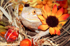 Festive Bearded Dragon. A bearded Dragon sitting in a wreath of Thanksgiving decorations Stock Images