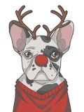 Festive black and white pied French Bulldog dog dressed up as Christmas reindeer with antlers and red nose graphic vector illustra royalty free illustration