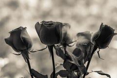 Festive bouquet of crimson roses Royalty Free Stock Image