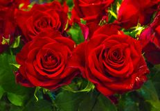 Festive bouquet of red roses Stock Photo