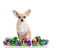 Festive chihuahua. Chihuahua sitting with mardi gras beads, room for text Stock Photo