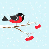 Festive Christmas card. Christmas card with bullfinch on snow-covered branch of a mountain ash Stock Photo