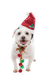 Festive Christmas puppy with jingle bells. An adorable white maltese dog standing with pretty red and green jingle bells tied to decorative festive ribbon Stock Images