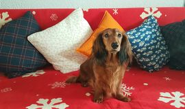 Festive dachsund waiting for santa. Longhair dachshund waiting for her Christmas presents royalty free stock images