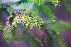 Festive fir branch with shiny drops on bright background Royalty Free Stock Photos