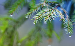 festive fir branch with shiny drops on a green background Stock Photography