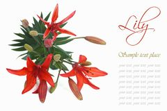 Festive floral greeting card with lilies Royalty Free Stock Photography