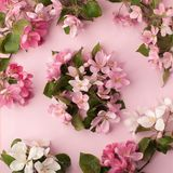 Festive flower apple tree composition on the pastel pink background. Overhead view.  Royalty Free Stock Photo