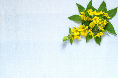 Festive flower arrangement on white background. Festive flower arrangement. Flowers loosestrife lysimachia in yellow packing on blue textured background. Top Stock Photography