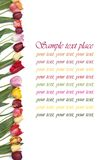 Festive frame colors of tulips on a white Royalty Free Stock Photo