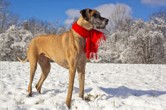 Festive great Dane in the snow Stock Photography