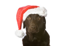 Festive Labrador Royalty Free Stock Photography