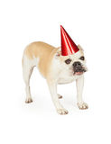 A festive looking Bulldog wearing a red party hat. Royalty Free Stock Photo