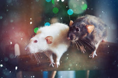 Festive new year rats couple Stock Photography