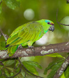 Festive Parrot. A Festive Parrot (Amazona festiva) on a branch in the peruvian amazon rainforest Stock Image