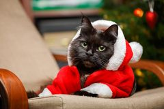 Festive photo of black cat in Santa Claus costume. On armchair against background of Christmas tree Stock Image