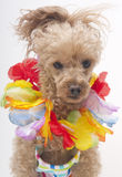 Festive Poodle Royalty Free Stock Photography