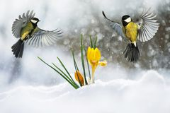 Festive postcard two little bird the Wren flies widely spread it. S wings and fluffed feathers over the yellow snowdrops out from under a brilliant blue snow royalty free stock image