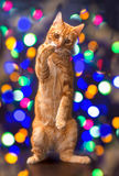 Festive red cat Royalty Free Stock Photo