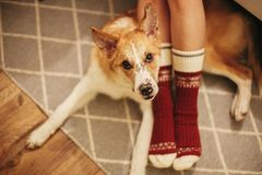 Festive socks on girl legs and cute golden dog sitting on floor. In festive room. relax time. cozy winter holidays. warm atmospheric moment. christmas holidays stock photos