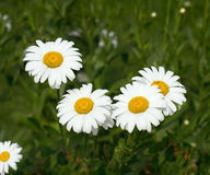 Festive white field daisies Royalty Free Stock Photo