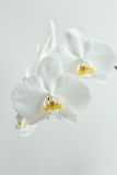Festive white orchids Stock Photo