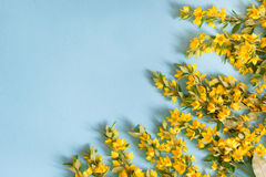 Festive yellow flower arrangement of loosestrife lysimachia on blue background. Flat lay. Stock Photo