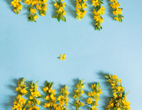 Festive yellow flower arrangement of loosestrife lysimachia on blue background. Flat lay. Royalty Free Stock Images