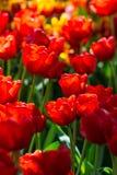 Festività del tulipano Fotografia Stock Libera da Diritti