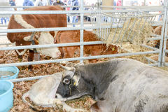 Festività rurale in Agno sulla Svizzera Fotografia Stock Libera da Diritti