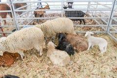 Festività rurale in Agno sulla Svizzera Immagini Stock