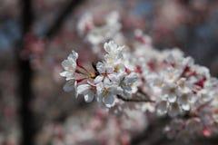 Festivo bonito da flor bonito de Sakura Flower imagem de stock