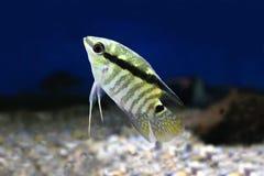 Festivum Cichlid ryba Świąteczny Cichlid, Zakazujący Cichlid Mesonauta festivus Fotografia Royalty Free