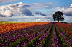 festiwalu tulipan Zdjęcia Royalty Free