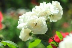 Festlig blomma, härliga vita rosor på naturbakgrunden Födelsedag Mother' s valentin, Women' s bröllopbegrepp royaltyfria bilder