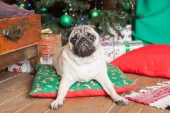 Festlig vit mopshund som ligger under det satta trädet på kudden och Royaltyfria Foton