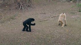 Festliga macaques går på jordning för torrt gräs i zoobilaga lager videofilmer