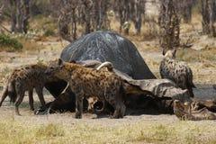 Festoiement repéré d'hyènes Photos stock