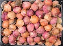Feston à Shell image stock