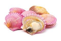 Feston à Shell photo stock