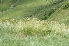 Festuca eskia grass in pyrenean meadow Royalty Free Stock Photo