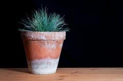 Festuca glauca in a clay pot. Festuca glauca on black background Stock Photo