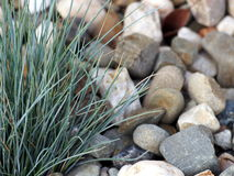 Festuca glauca Stock Photos
