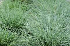 Festuca glauca grass in a planting bed Royalty Free Stock Photos